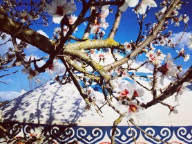 Almond blossoms above the yurt